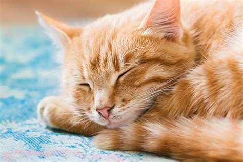 The Orange Tabby Cat — 8 Fun Facts - Catster