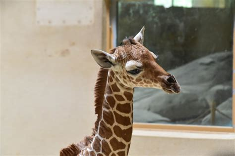 Maryland Zoo in Baltimore welcomes another baby giraffe